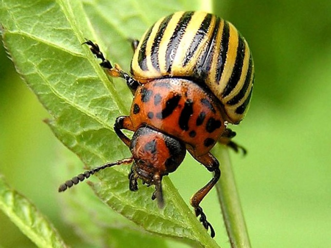 How to deal with Colorado potato beetle on potato