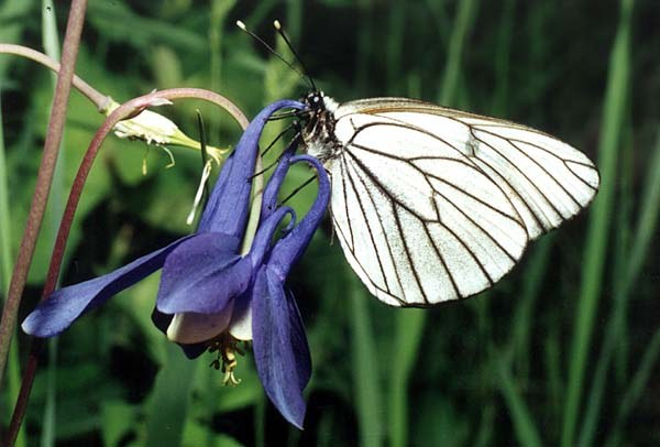 Бабочка-боярышница: методы борьбы