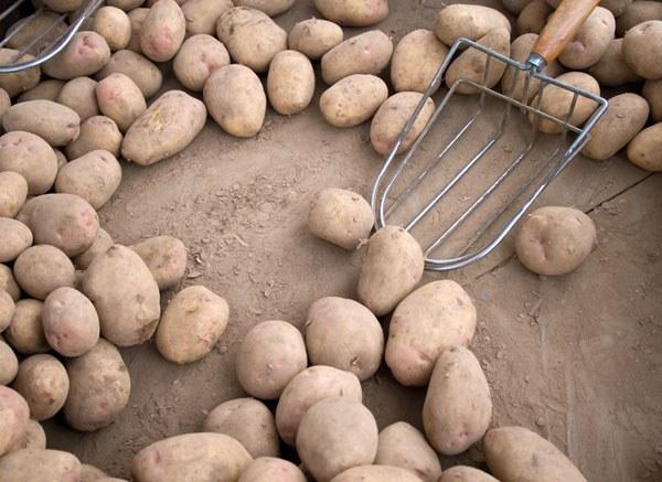 Как правильно выбрать хороший картофель