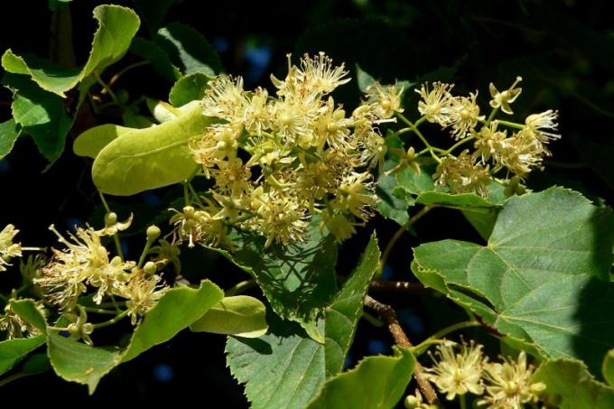 Jam of Linden flower