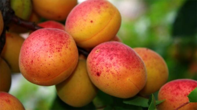 Рецепты варенья из абрикосов