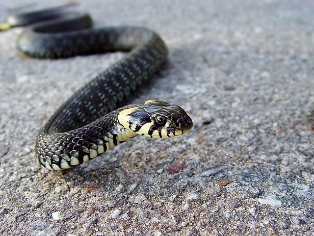 Snakes in summer cottage: what to do