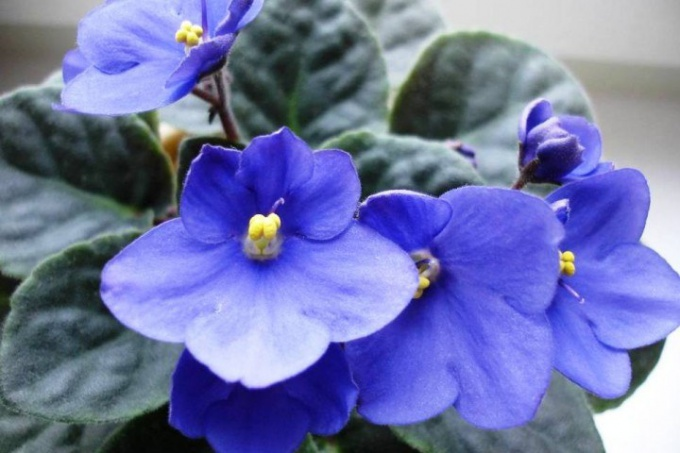 How to help the violets to bloom