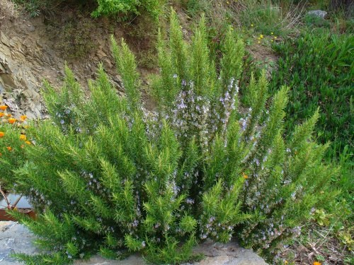 Выращивание розмарина на даче: красиво и полезно