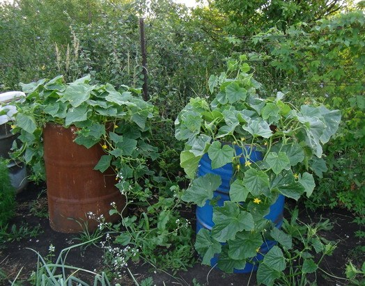Growing cucumbers in a barrel: pros and cons