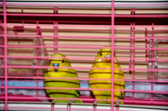 Как выбрать здорового волнистого попугая для покупки?