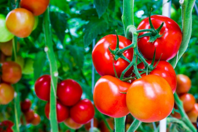 The main diseases of tomatoes: how to treat them
