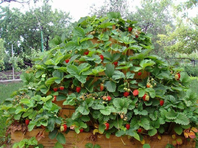 How to grow strawberries in the tires