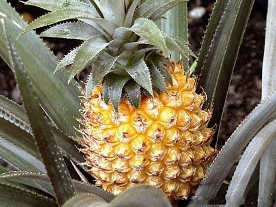 К чему снятся бананы и ананасы