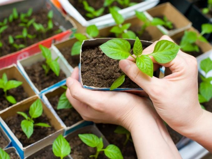 Как самому вырастить рассаду кабачков или цукини