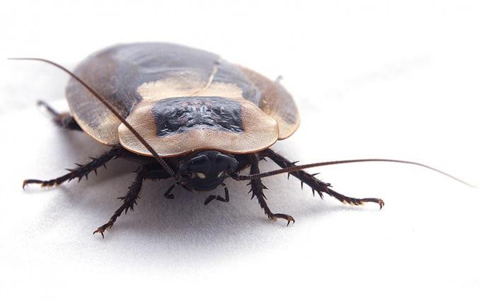 Какие тараканы самые большие в мире