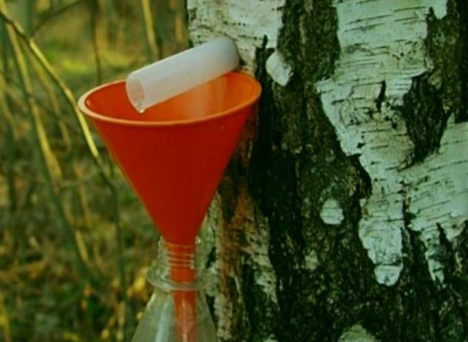 Собирать березовый сок можно до первых листьев