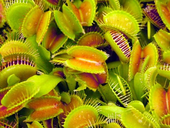 Какое растение питается живыми организмами?