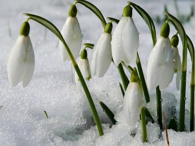 Какие цветы распускаются весной первыми