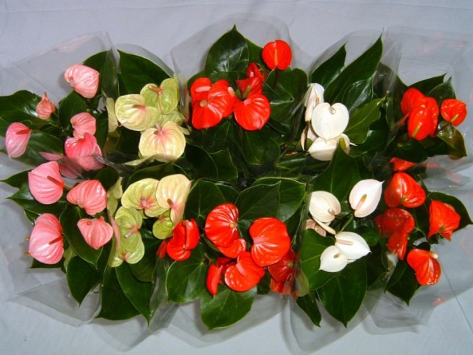 Why Anthurium blacken and dry leaves
