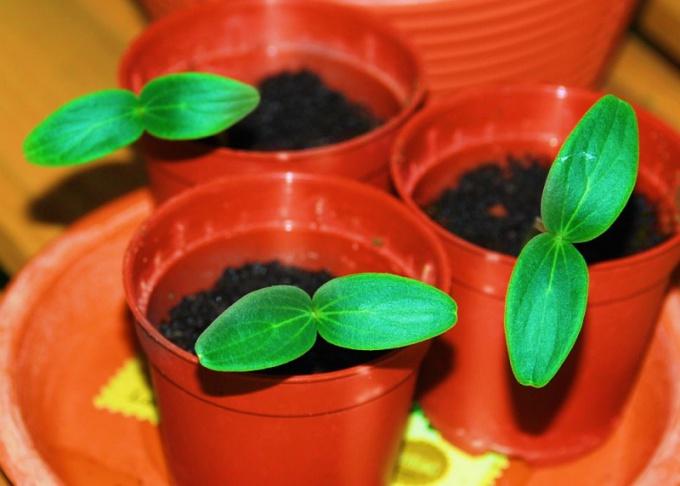 Growing cucumber seedlings