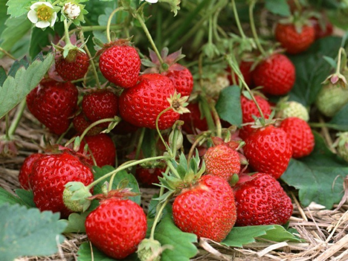 Curly how to grow strawberries in a greenhouse without chemicals