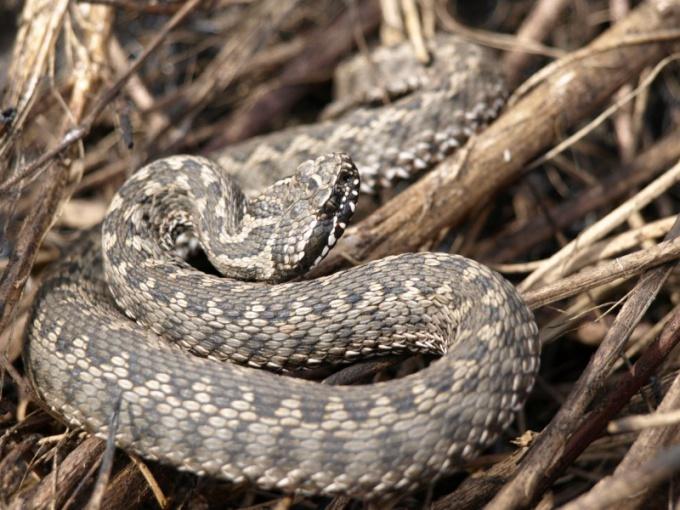 Гадюка - самая опасная змея на территории России!