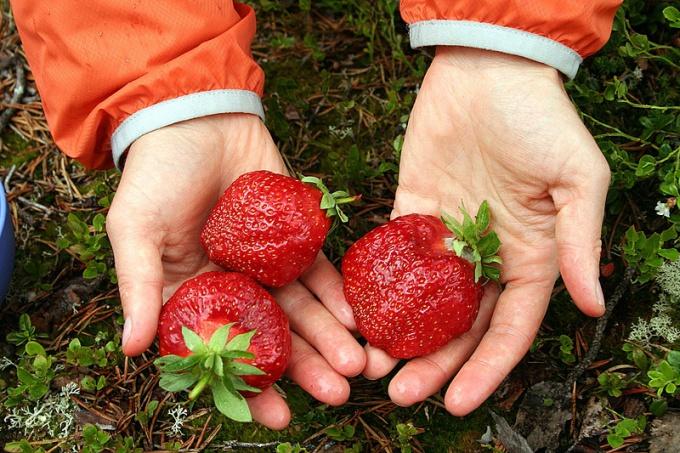 Как вырастить садовую землянику из семян
