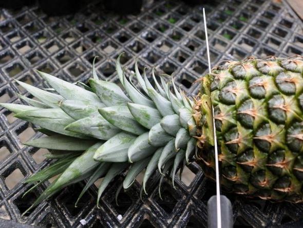 Как вырастить ананас из верхушки плода