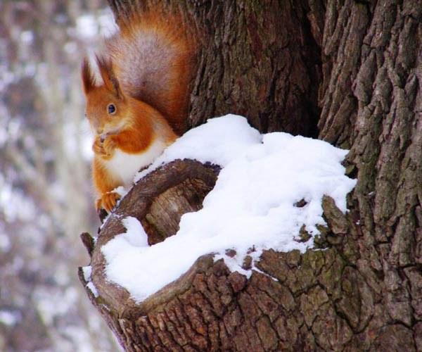 Где зимуют белки