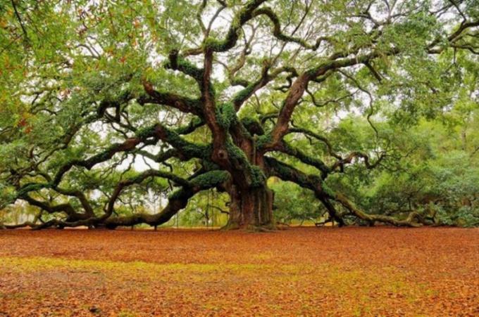 Какие болезни лечат корой дуба 🚩 кора дуба применение в ...