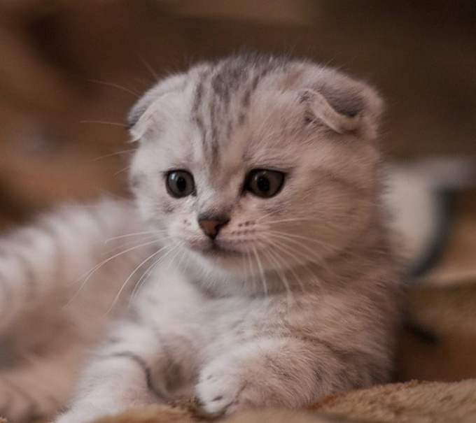 How to care for Scottish fold kittens