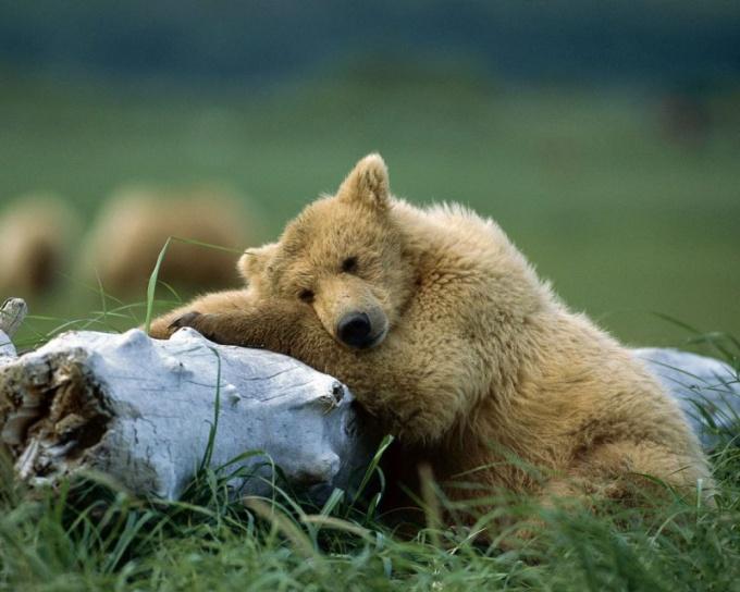 Почему бурые медведи спят всю зиму