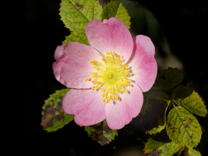 Рассмотрите цветок шиповника