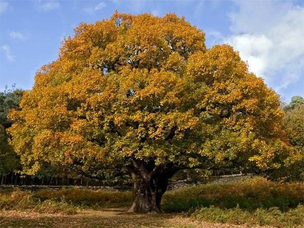 Дуб - мощное раскидистое дерево
