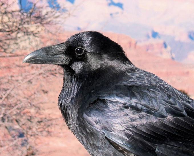 У вороны - непростой характер и своеобразное чувство юмора