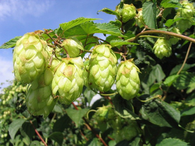 The benefits and harms of hop cones