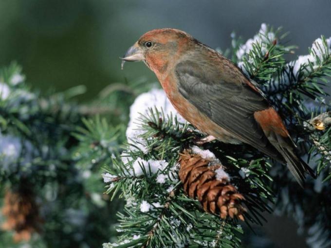 какие птицы размножаются зимой