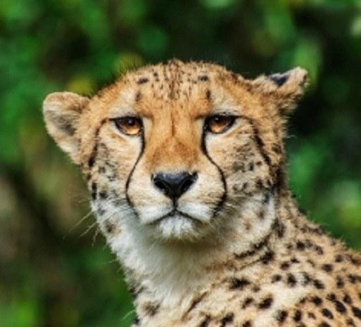 гепард против леопарда