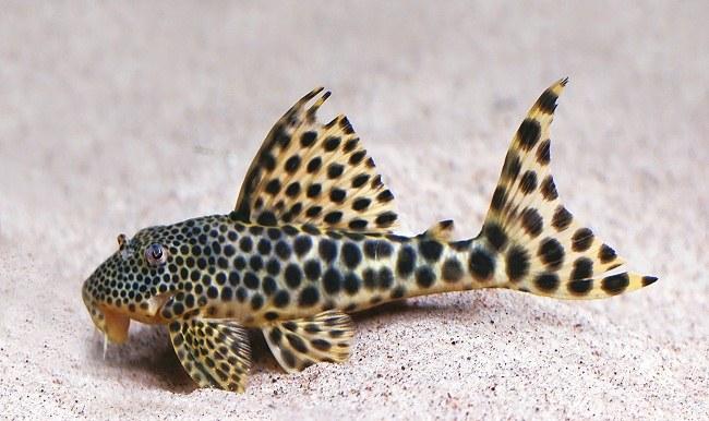 аквариумные рыбки хорошо размножаются откладывая икру