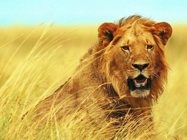 К чему снится лев
