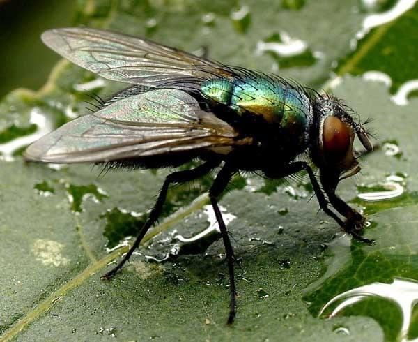 мухи как он ведет себя весной