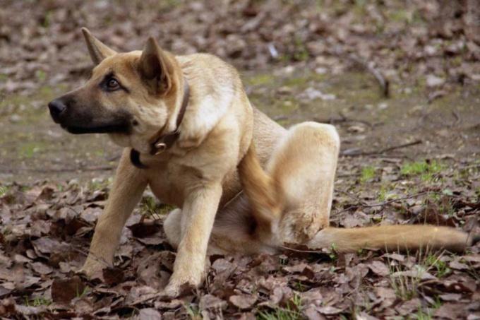 Как вылечить собаку от блох