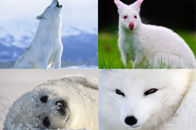 Какие животные бывают белыми