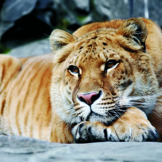 как называются котята львов и тигров
