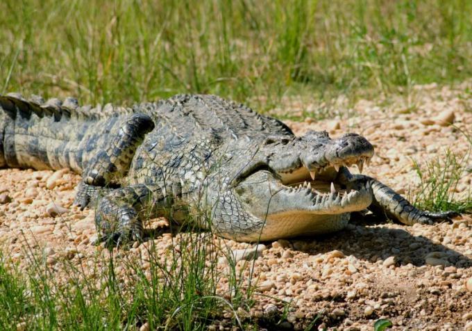 Нильский крокодил - один из самых больших в мире!