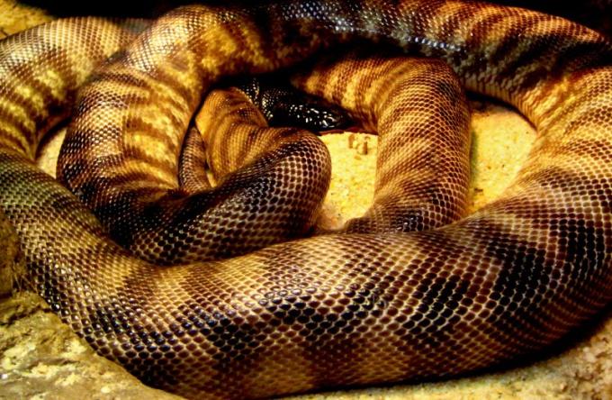 Где у змеи начало хвоста