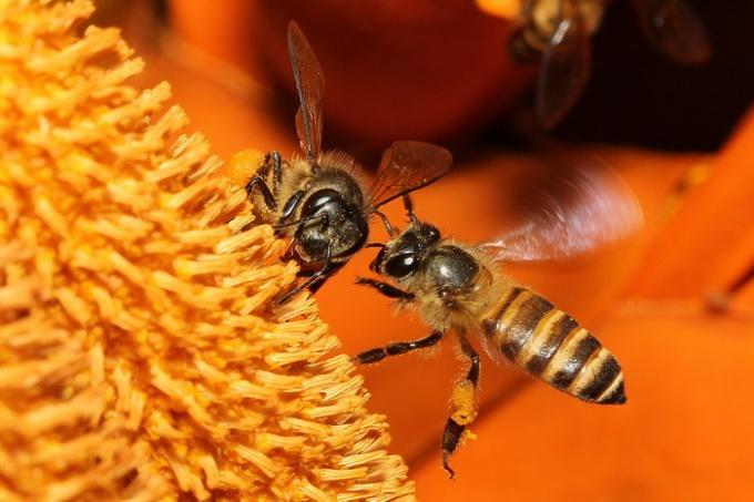 Зачем пчелам мед