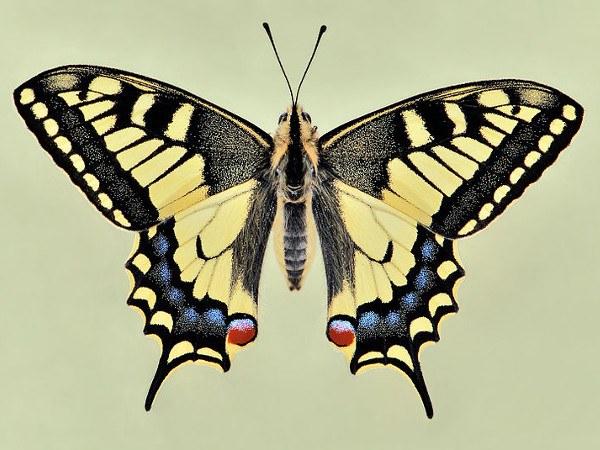 Махаон - перелетная бабочка