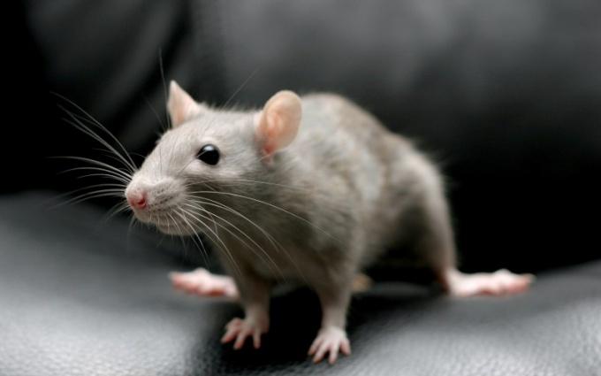 Женская боязнь мышей и крыс вызвана генетической памятью человека
