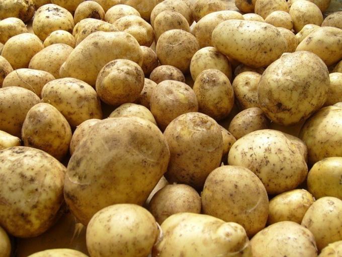 Выбор семенного картофеля