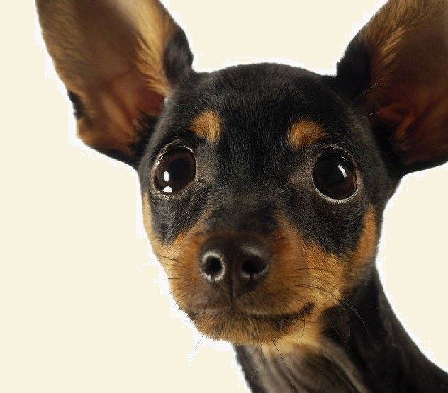 How to name a puppy toy Terrier