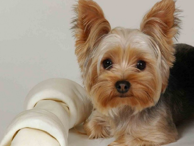 How much should a Yorkie weigh at 6 months