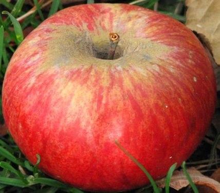 Какой вкус у яблок сорта «апорт»