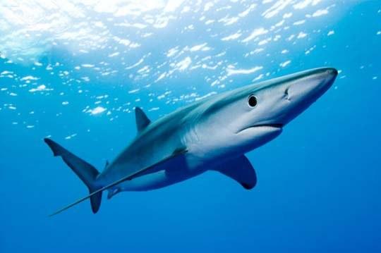 Какие акулы нападают на людей и где они водятся в 2018 году